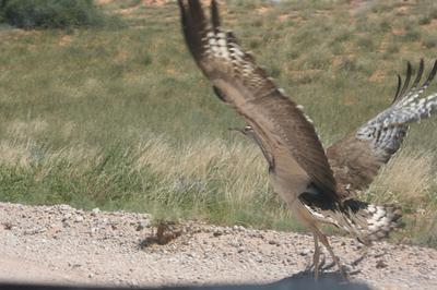 Kori bustard taking off in fright.