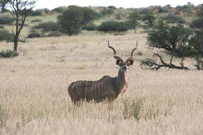 Kudu on the lookout Lochbroom.