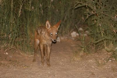 Late night visitor Nossob.