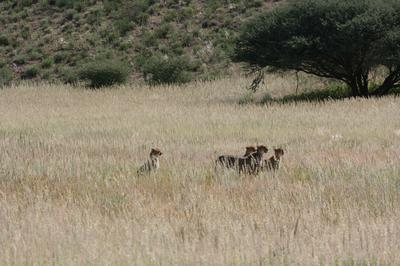 Female Cheetah with 3 youn ones.