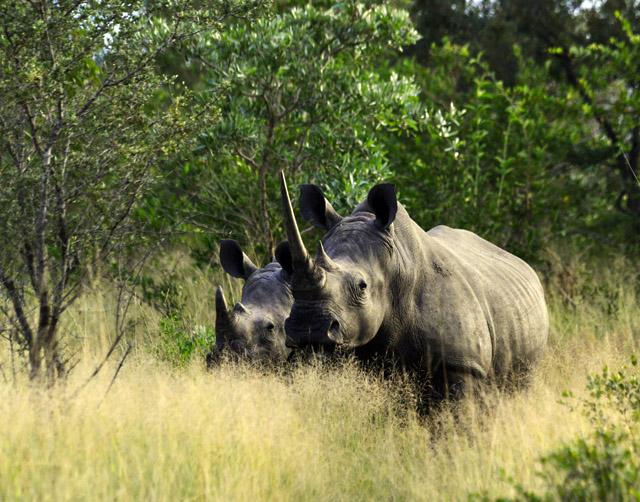 white rhinos at Hoyo Hoyo