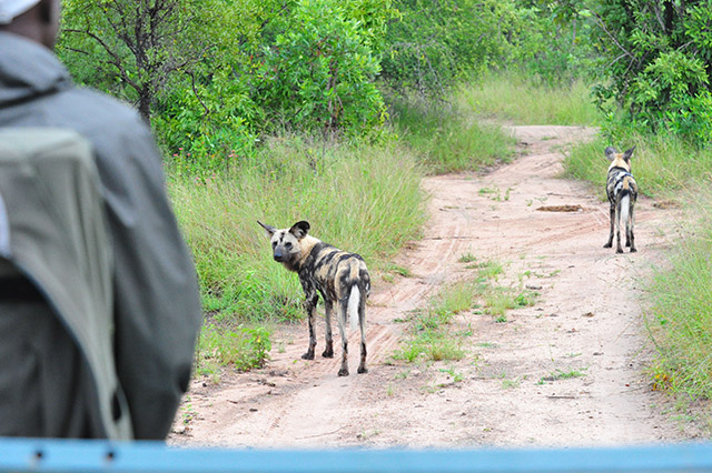 Wild dogs photographed from the vehicle