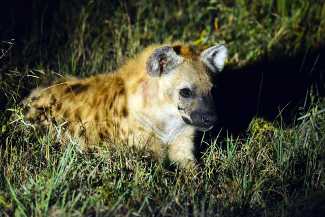 Hyena photographed at night