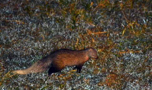 White tailed mongoose