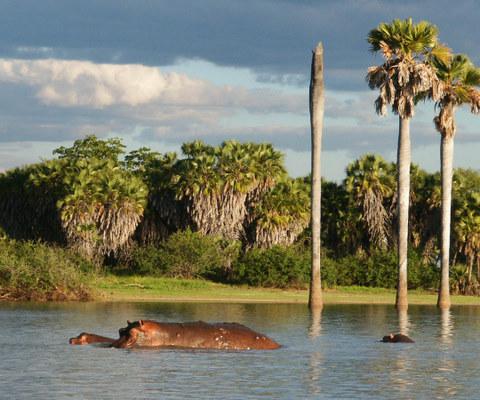 Hippo in lake
