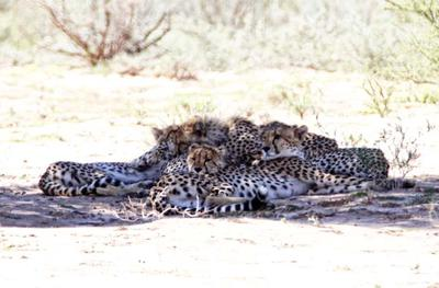 Pile of Cheetah
