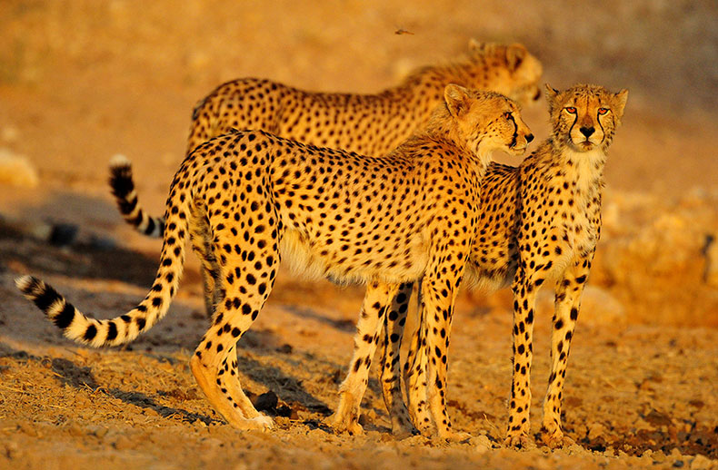 Three male cheetahs at waterhole, Kgalagadi