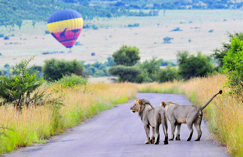 Lions on patrol with hot air balloon, Pilanesberg