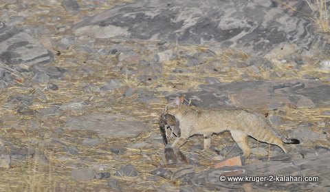 African wildcat with sandgrouse kill