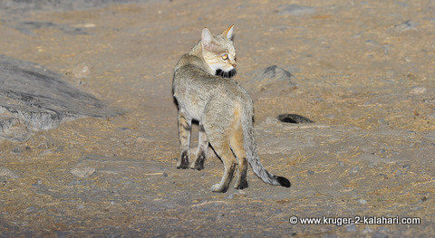 African wildcat in Etosha at night