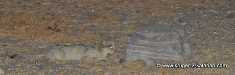 African Wildcat stalking sandgrouse