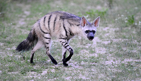 Image of: Civet 2 Aardwolf Kruger To Kalahari The Elusive Eleven