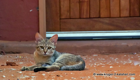 African wildcat