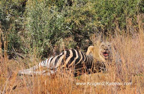 lioness with zebra prey