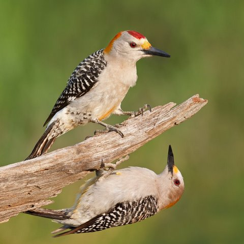 Goldenfronted woodpecker pair