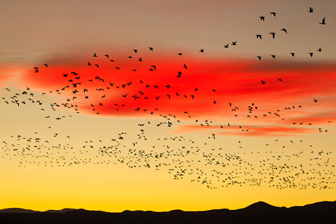 snow geese flying to roost Bosque del Apache
