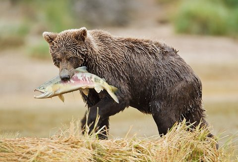Brown bear with chum salmon