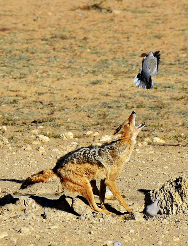 A Jackals near catch at Kij Kij waterhole