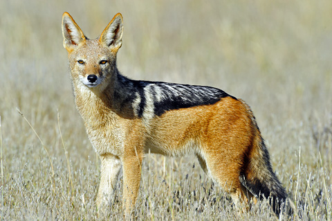 blackbacked jackal near Gharagab