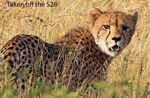 Cheetah in the Kruger Park