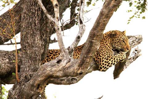 Kruger park leopard lying in tree