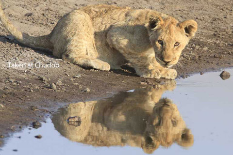 lion cubs at Chudob in etosha