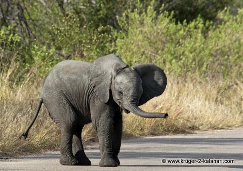 Baby elephant in Kruger Park