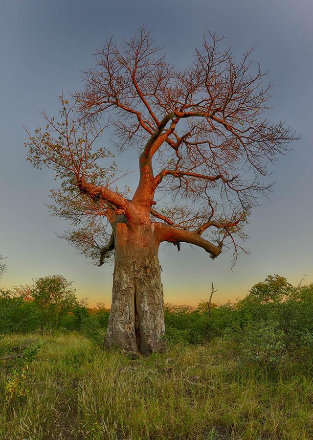 Baobab at Mutale Falls