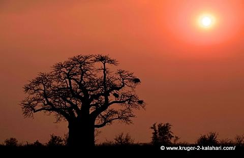 Baobab tree between Punda Maria and Pafuri