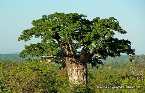 Baobab tree in Kruger park