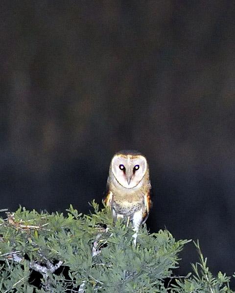 Barn Owl at Kieliekrankie