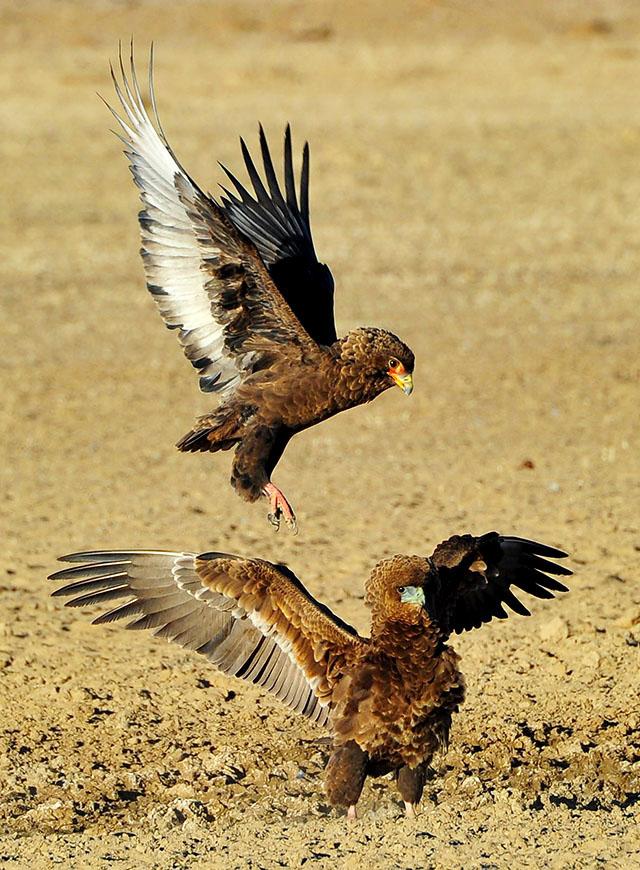 Bateleur fight at Polentswa waterhole
