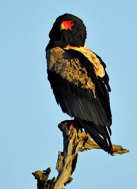 Bateleur - kalahari raptor