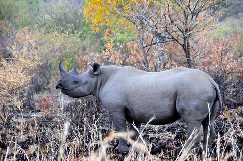 black rhino in pilanesberg
