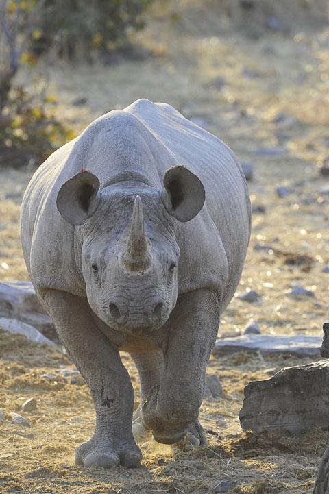 black rhino in etosha