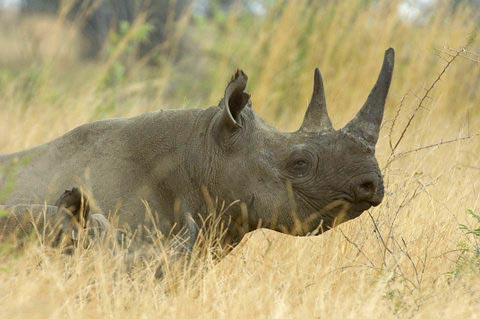 Black Rhino in Pilanesberg
