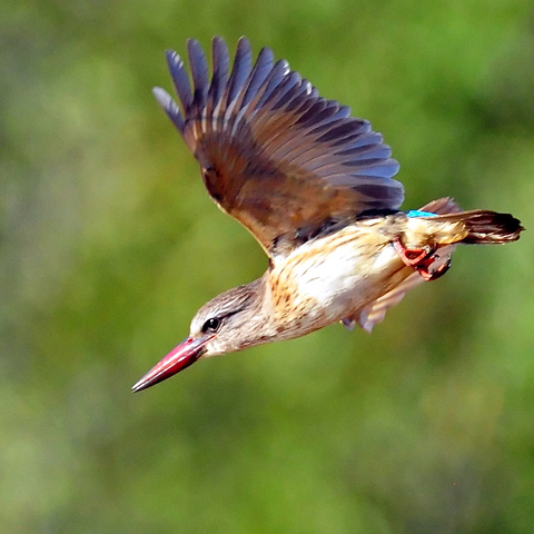 Brown-hooded Kingfisher - Pilanesberg