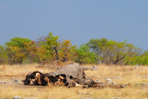 burnt elephant in Etosha