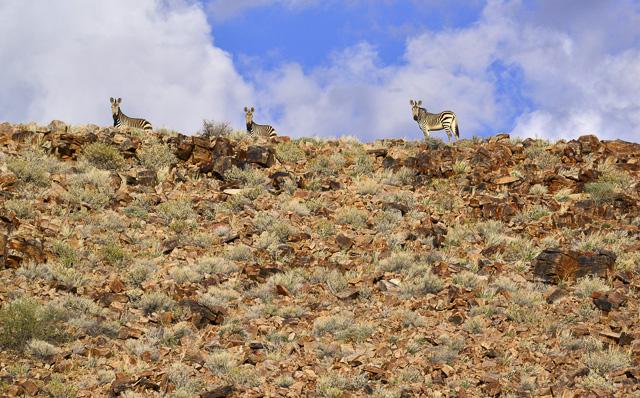 Hartmann's mountain zebras