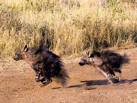 brown hyenas