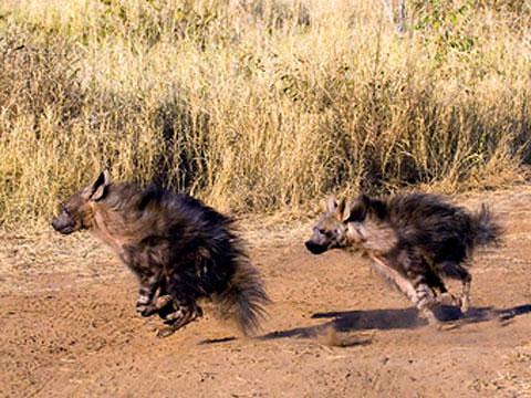 brown hyenas