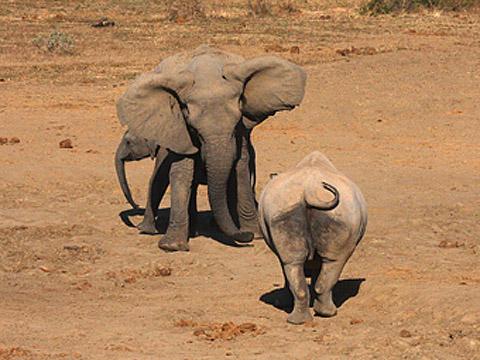 elephant and rhino confrontation