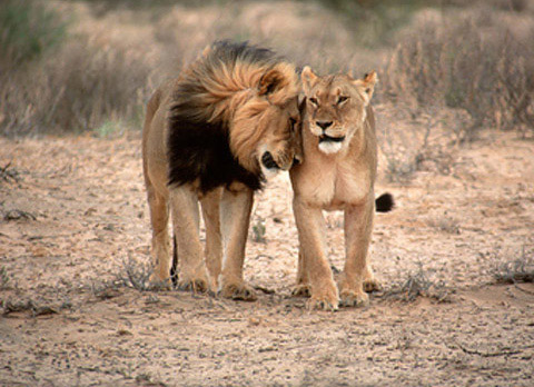 Male lion with female
