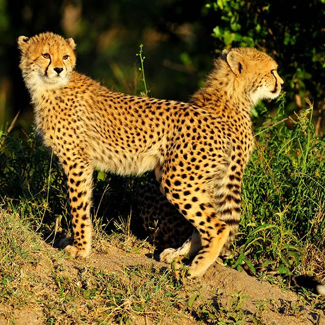 Two cheetah cubs looking at brother lagging behind