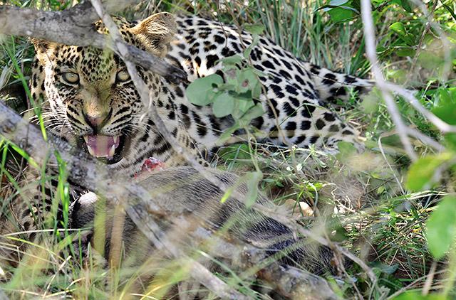 Leopard with warthog kill
