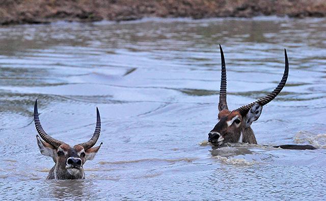 waterbuck chase