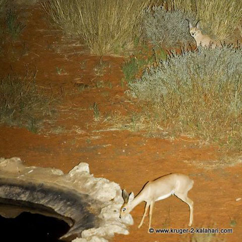 Caracal waiting to ambush a steenbok