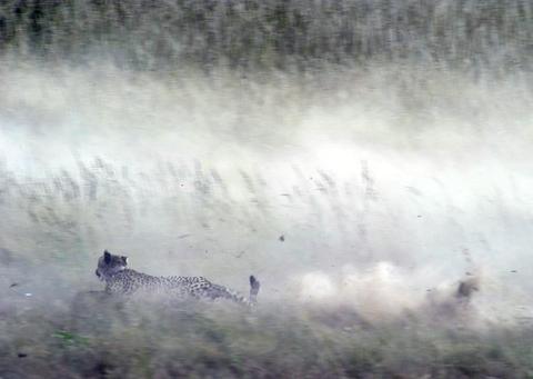 cheetah kill