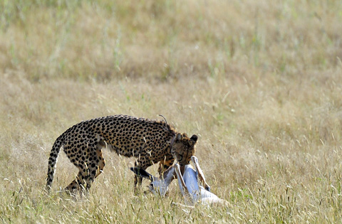 cheetah kill at Urikaruus camp