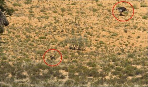 cheetah chase, kalahari